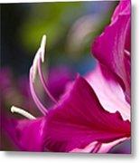 Bauhinia Purpurea - Hawaiian Orchid Tree Metal Print