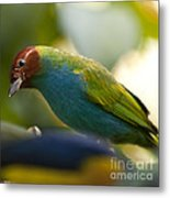 Bay-headed Tanager - Tangara Gyrola Metal Print