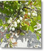 Beach Plum - Prunus Maritima - Island Beach State Park Nj Metal Print