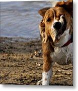 Beagle Shake Metal Print