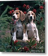 Beagles Metal Print