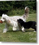 Bearded Collies Playing Metal Print by John Daniels