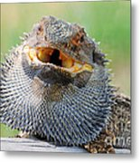 Bearded Dragon In Defense Mode Metal Print by Christopher Edmunds