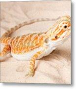 Bearded Dragon Pogona Sp. On Sand Metal Print