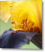 Bearded Iris Dwight Enys Abstract Metal Print by Tim Gainey