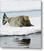 Bearded Seal On Ice Floe Norway Metal Print