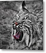 Bearizona Bobcat Metal Print by Priscilla Burgers