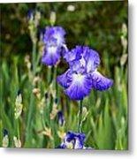Beautiful And Colorful Iris. Metal Print