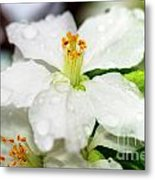 Beautiful Apple Flower With Water Drops Metal Print