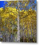Beautiful Aspen Tree Metal Print