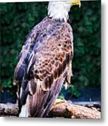 Beautiful Bald Eagle Metal Print by Jason Brow