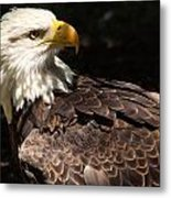 Beautiful Bald Eagle Metal Print