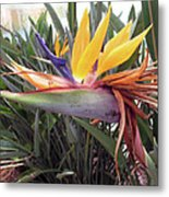 Beautiful Bird Of Paradise  Metal Print