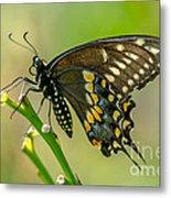 Beautiful Black Swallowtail Metal Print