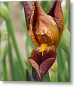 Beautiful Brown Bearded Iris Metal Print