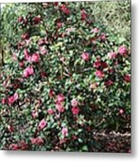 Beautiful Camellia Bush Metal Print