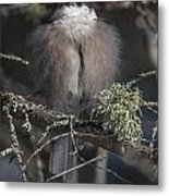 Beautiful Grey Jay Pose Metal Print
