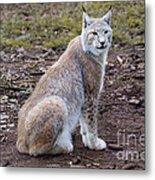 Beautiful Lynx Metal Print