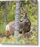 Beautiful Mule Deer Buck With Velvet Antler  Metal Print