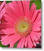 Beautiful Pink Gerber Daisies Metal Print