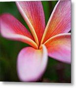 Beautiful Pink Plumeria Blossom Metal Print