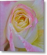 Beautiful Pink Rose Closeup  Metal Print