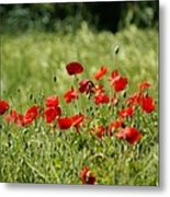 Beautiful Poppies 1 Metal Print