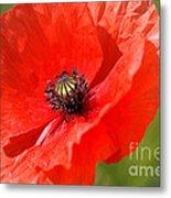 Beautiful Poppies 6 Metal Print