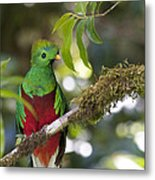 Beautiful Quetzal 1 Metal Print