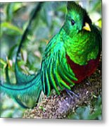 Beautiful Quetzal 4 Metal Print by Heiko Koehrer-Wagner