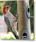 Beautiful Red Belly Woodpecker Jr Metal Print