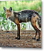 Beautiful Red Fox Metal Print