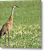 Beautiful Sandhill Crane Metal Print
