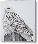 Beautiful Snowy Owl Metal Print