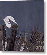 Beautiful Snowy Owl Flying Metal Print