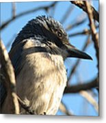 Beautiful Western Scrub Jay Metal Print