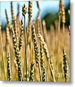 Beautiful Wheat Metal Print