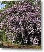 Beauty Bush (kolkwitzia Amabilis) Metal Print