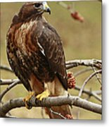 Beauty In Nature Red Tailed Hawk In The Spring  Metal Print by Inspired Nature Photography Fine Art Photography