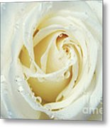 Beauty Of A White Rose Metal Print