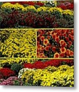 Beauty Of The Fall Mums Metal Print