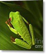 Beauty Of Tree Frogs Costa Rica 6 Metal Print