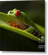 Beauty Of Tree Frogs Costa Rica 7 Metal Print