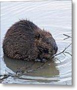 Beaver Chewing On Twig Metal Print