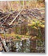 Beaver Dam In Fall Colored Forest Wetland Swamp Metal Print