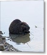 Beaver In The Shallows Metal Print