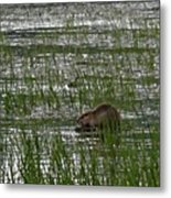 Beaver On Rest Lake Metal Print by Lizbeth Bostrom