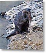 Beaver Sharpens Stick Metal Print