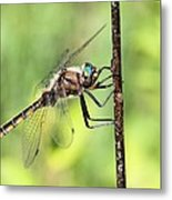 Beaverpond Baskettail Dragonfly Metal Print