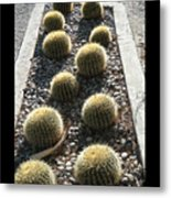 Bed Of Barrel Cacti  Metal Print
